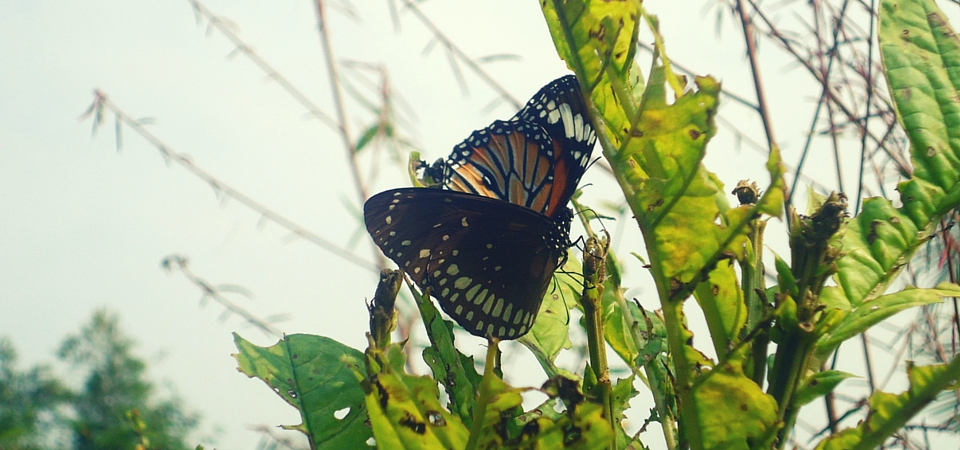 A Striped Tiger butterfly and a Common Crow butterfly in Ovalekar Wadi Butterfly Garden