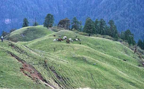 Cattles grazing on the fields, Uttarakhand