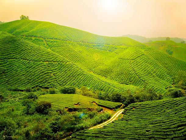 Assam tea plantations