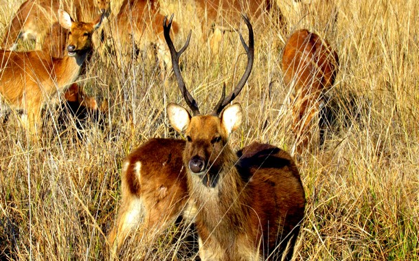 Barasingha in Kanha National Park