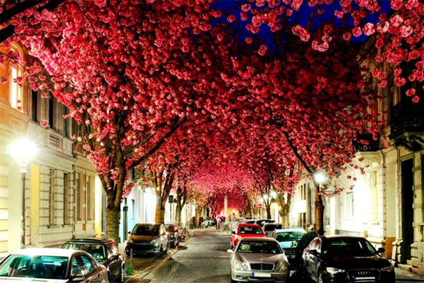 Cherry Blossom Avenue, Germany
