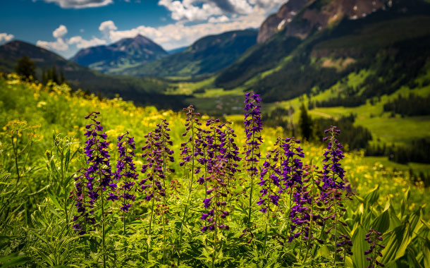 Crested Butte Wildflower