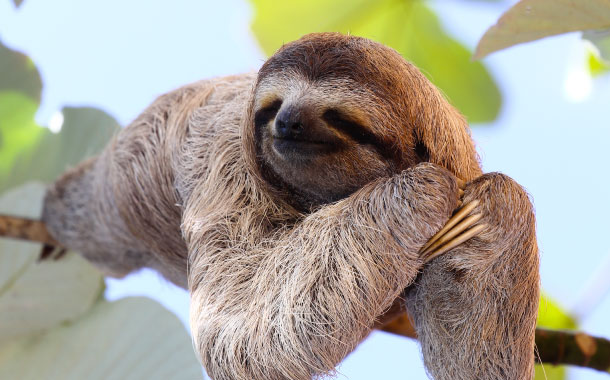 Happy sloth, Amazon