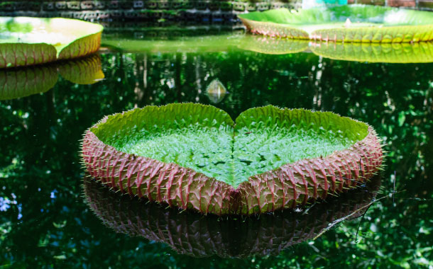 Heart shape Lotus leaf, Amazon rainforest