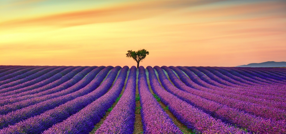 Local Lavender Fields in France