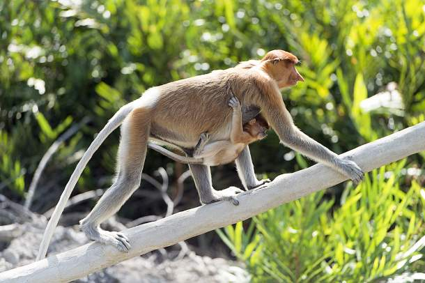 Long-nosed monkey, Borneo