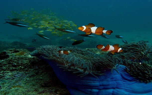 Nemo at Andaman