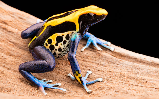 Poison dart frog, Amazon rainforest