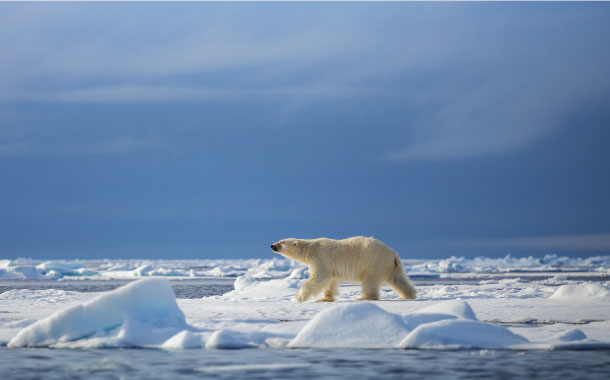 Polar bears in Spitsbergen, Norway