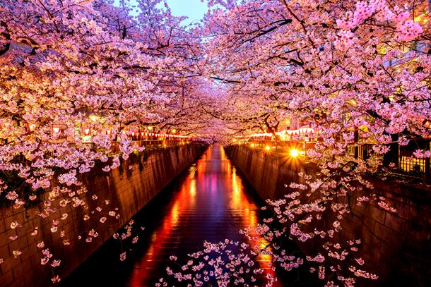 sCherry Blossoms, Sakura Tunnel in Japan