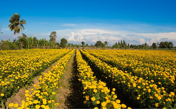 Sea of Gold, Desa Belok