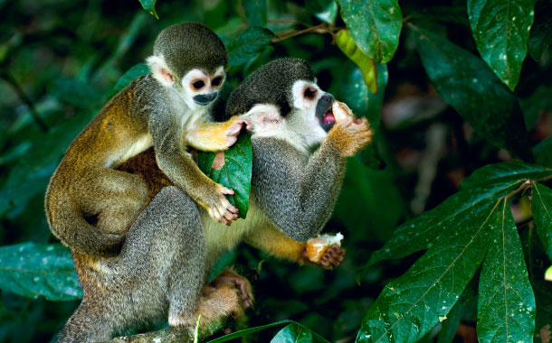 Squirrel Monkeys in Amazon rainforest