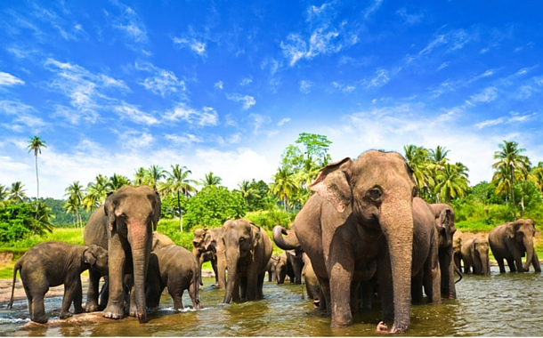 The Elephants Of Sri Lanka