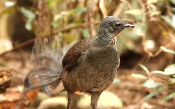 The Male Lyre Bird