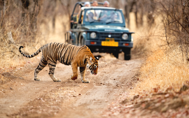 Tourist on Safari jeep watching tiger crossing the road at Ranthambore National Park