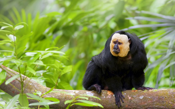 White-faced Saki Monkey, Amazon