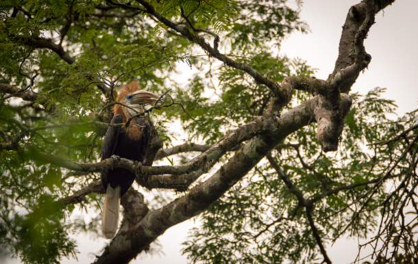 wild yellow-casqued hornbill